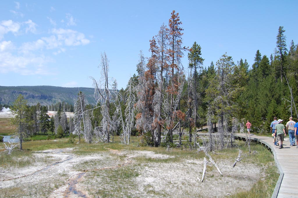nearby trees turn white and die as geothermal areas encroach on their habitat in the Upper Geyser Basin