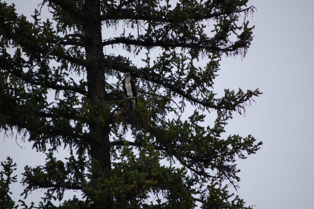 Osprey in a tree on the Snake River in Grand Teton National Park