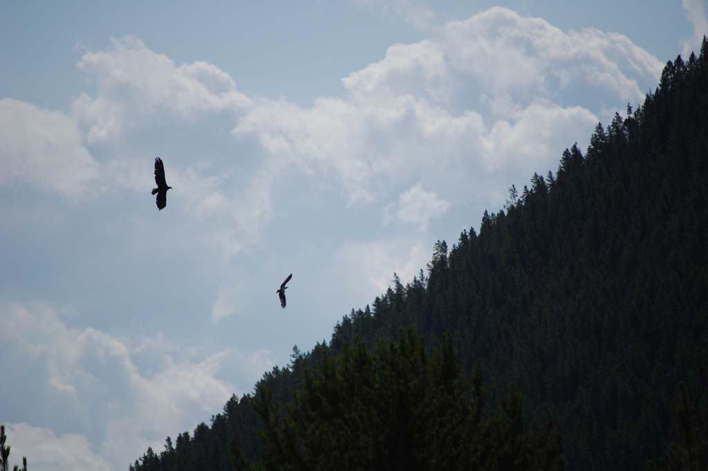 An eagle chases an osprey in Grand Teton National Park