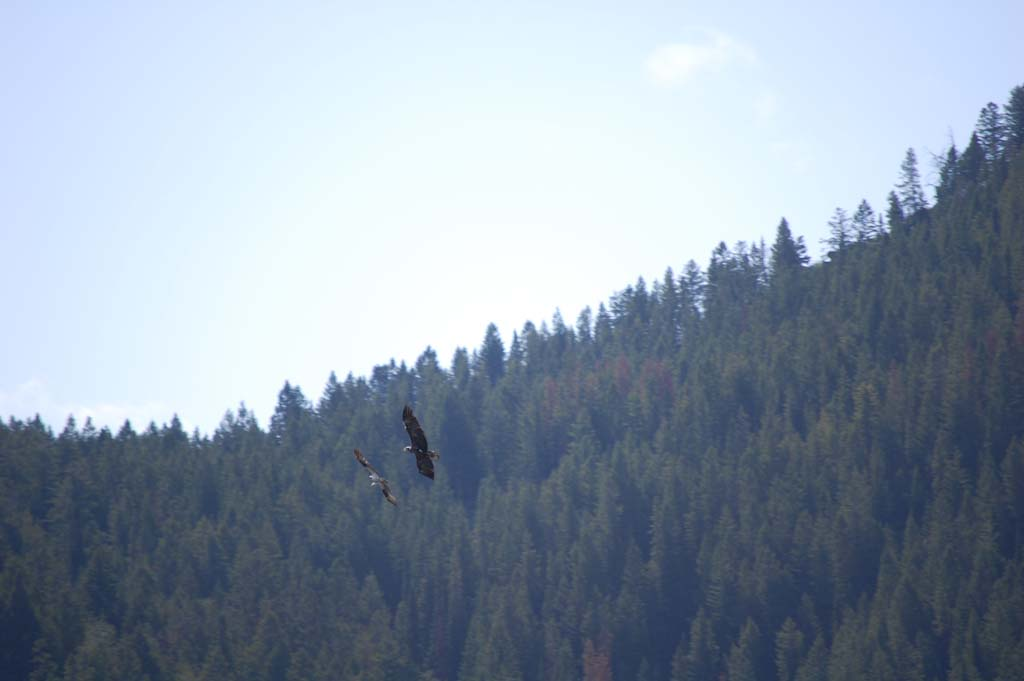 An eagle chases an osprey in Grand Teton National Par