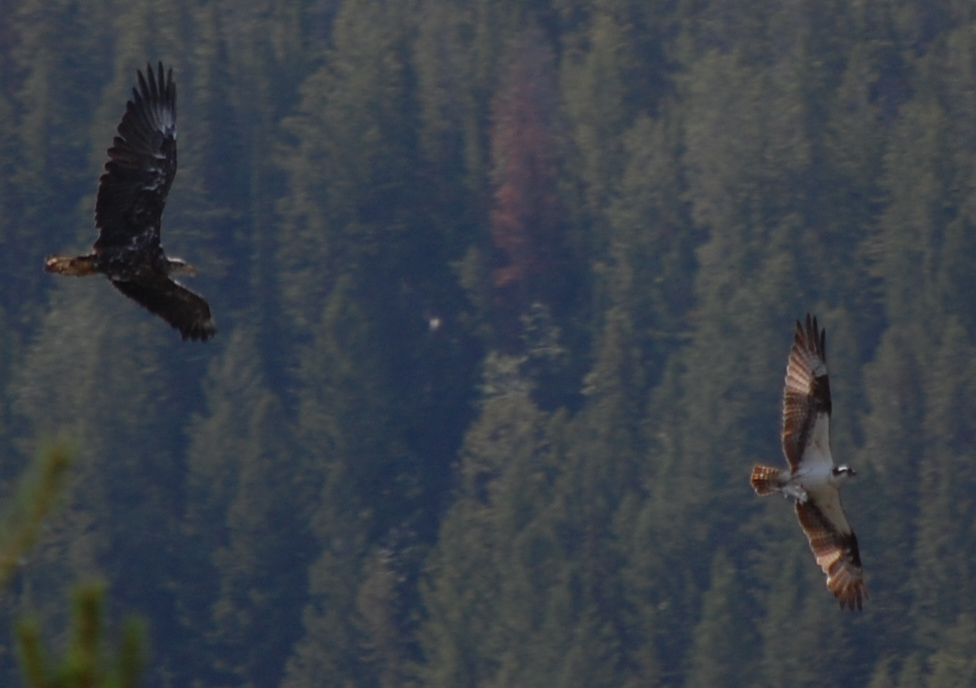 a bald eagle chasing an osprey to steal its fish